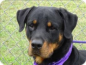 Corpus Christi Tx Rottweiler Meet Samson A Dog For Adoption