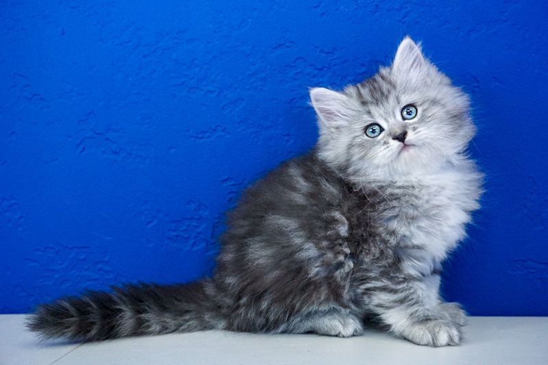 Ragdoll Kittens For Sale Near Me Buy Ragdoll Kitten Ragdoll Kittens For Sale Kitten For Sale Kittens