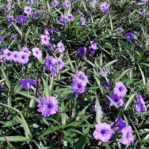 Mexican Petunia Purple Showers Sterile One That Is Not Cat 1 Invasive
