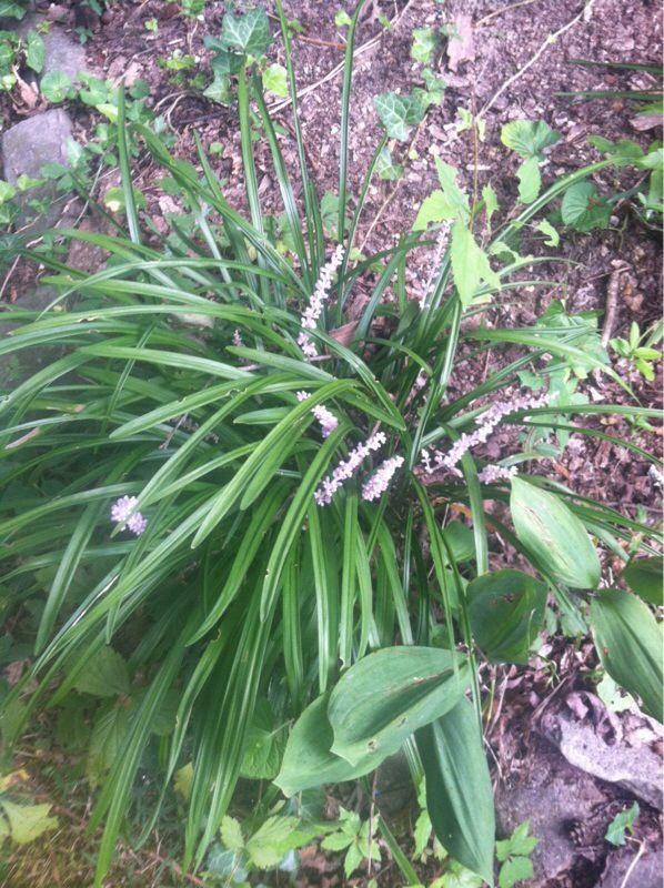 Free Plant Identification Liriope muscari, Landscape