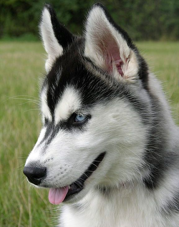 Siberian Husky Dog Breed Info And Picture Gallery Husky Dog
