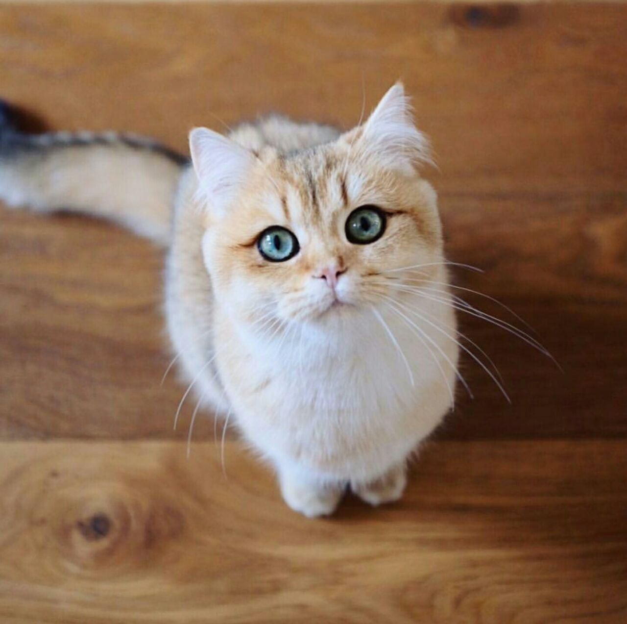 Pin By Snsyts On Animals British Shorthair British Shorthair Cats British Shorthair Kittens