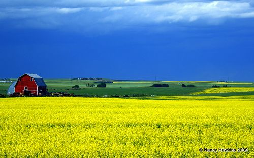 Red Barn Yellow Canola Field And Blue Sky Canola