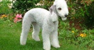 Ras-ras Anjing Terlangka Di Dunia - http://www.monggotv.lenterabahteraindonesia.com/ras-ras-anjing-terlangka-di-dunia/