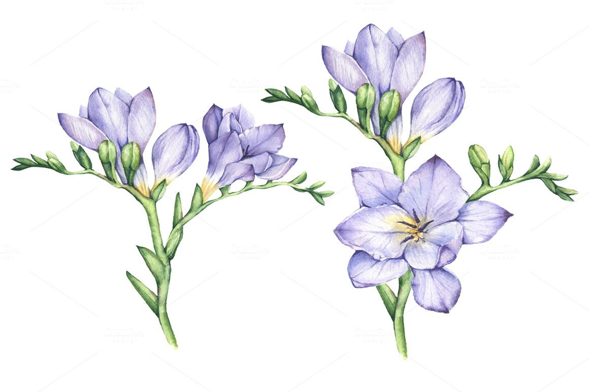 Set Of Watercolor Hand Drawn Freesia Flowers Flower Drawing Flower Illustration Floral Drawing