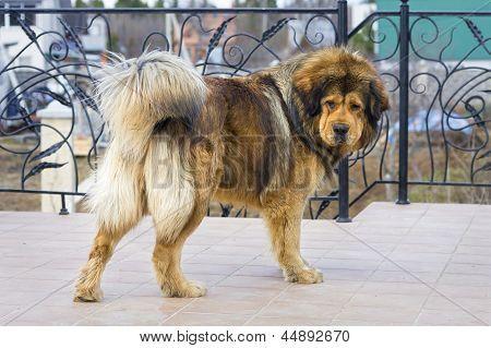 Tibetan Mastiff poster in 2019 15 dogs, Mastiff puppies