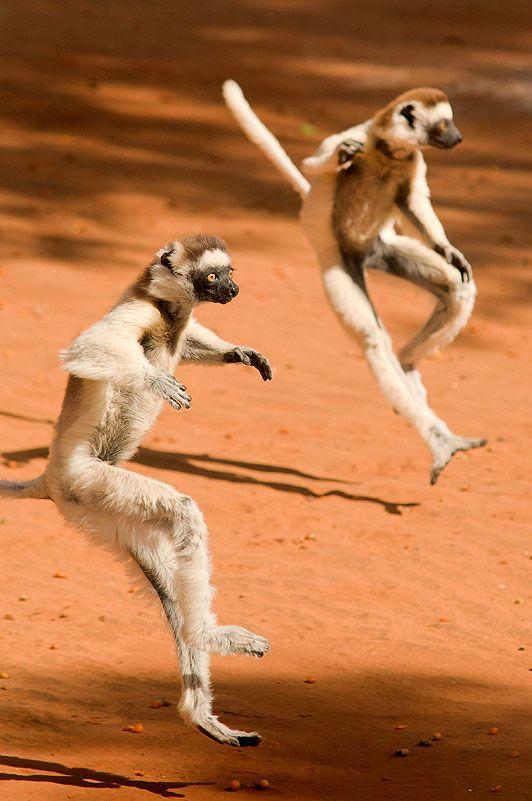 Lemurs by Paul Van Hoof, thesun.co.uk: Bruce Lee! #Lemurs #Paul_Van_Hoof #thesun_co_uk