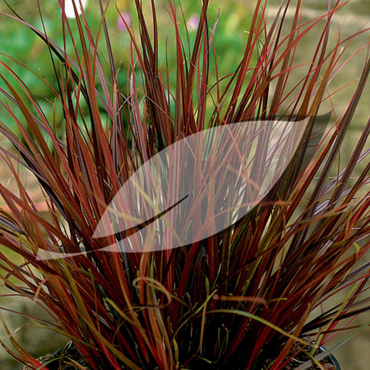 Red Hook Sedge - Uncinia rubra - The Garden Centre Group | garden ...