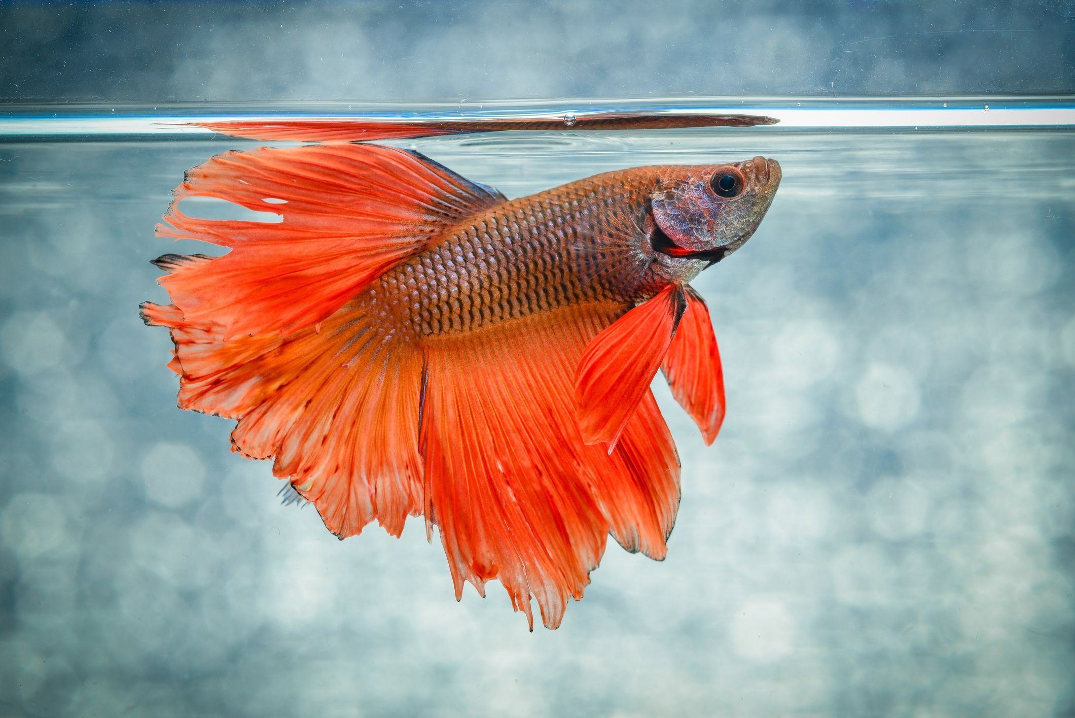 Here\'s Everything to Know About Those Colorful Betta Fish | Siamese ...