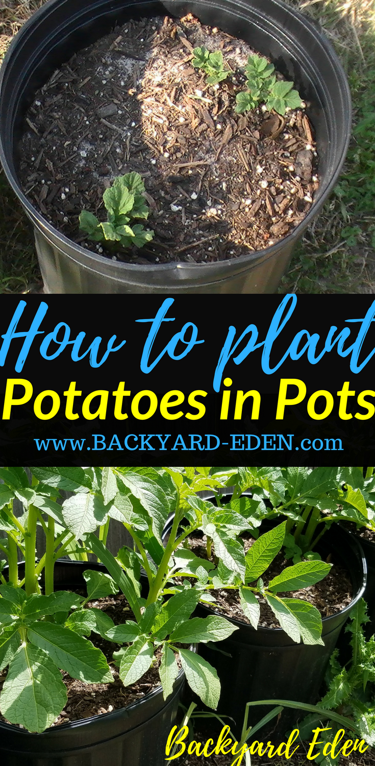 How To Plant Potatoes In Pots How To Plant Potatoes In