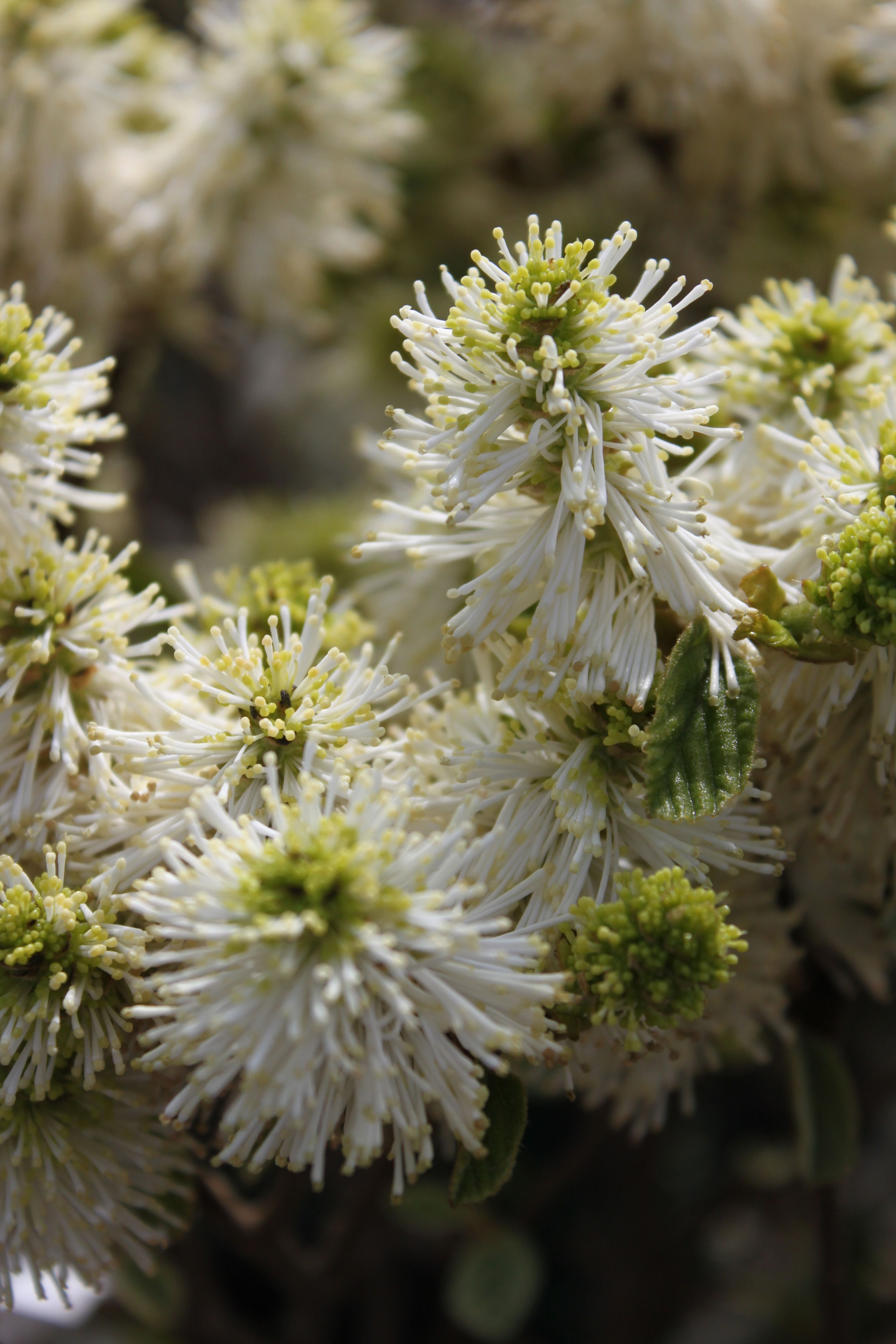 Dwarf Fothergilla Fothergilla A Small Spring Blooming Shrub With