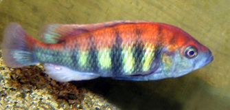Victorian Haps Cichlid Aquarium Colorful Fish Freshwater Aquarium Fish