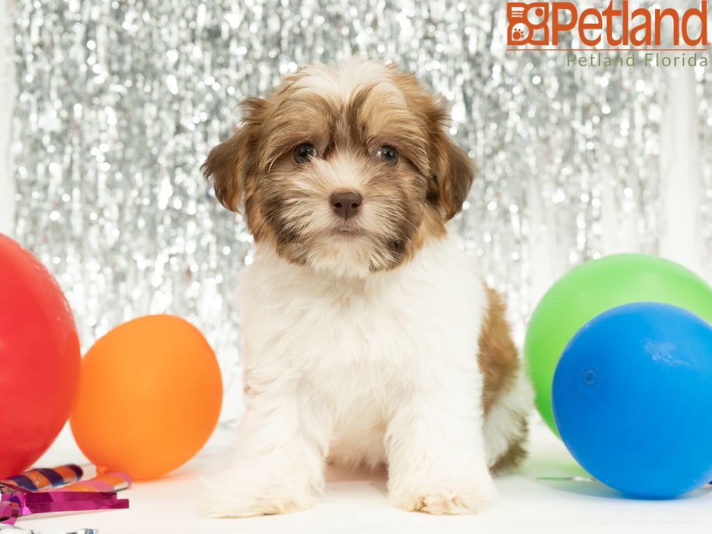 Petland Florida Has Havanese Puppies For Sale Check Out All Our Available Puppies Havan Havanese Puppies For Sale Havanese Puppies Puppy Friends