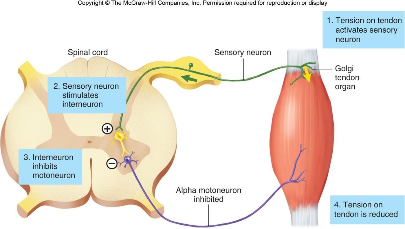 The tendon reflex is a response to excessive tension on the tendon ...