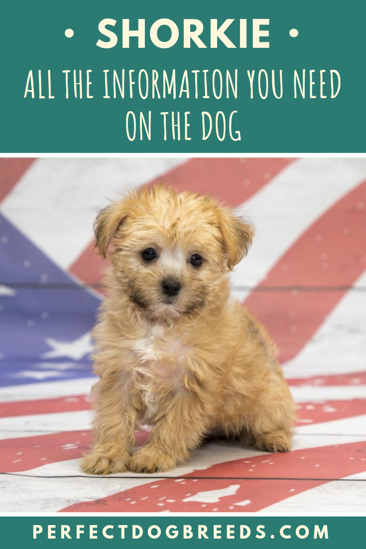 Information On The Shorkie Dog Shorkie Dogs Mixed Breed Dogs Shorkie Puppies