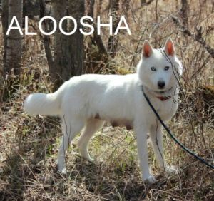 These Guys Are Outdoor Dogs With Typical Husky Temperament And