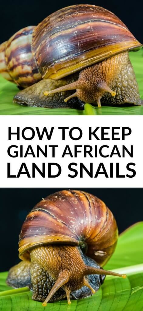 Giant African Land Snails Make Unusual But Easy To Keep Pets If You Re Looking For Something Unusual To Look Af Giant African Land Snails Snail African Snail