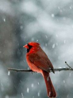 Quotes About Birds Red Bird Quotes  Red Bird  Cardinals  Pinterest  Bird Quotes .