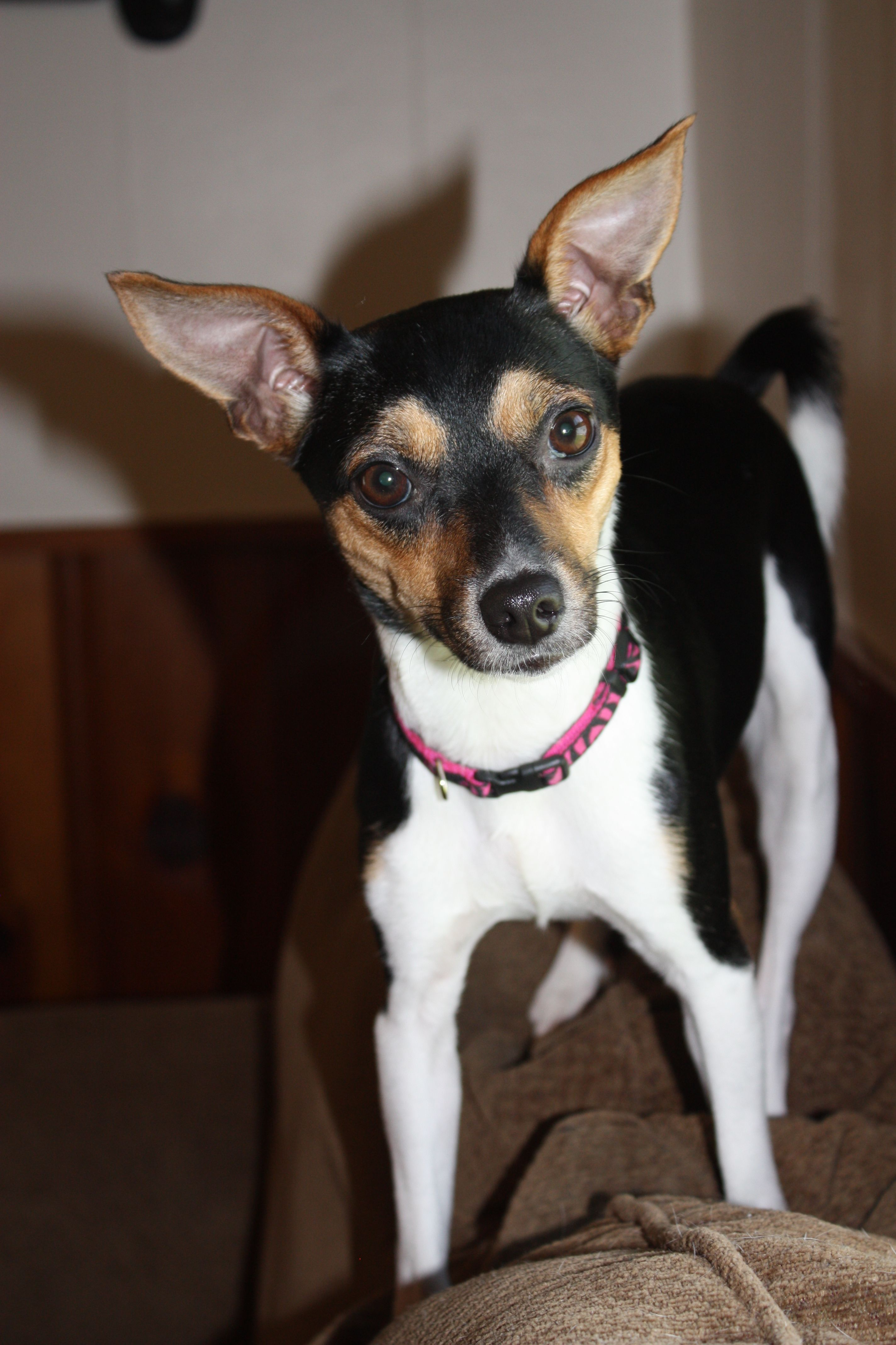 Ginger My Rat Terrier Jack Russel Mix With Images Rat