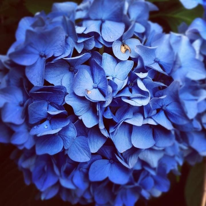 Blue Hydrangea Wedding Flowers: Blue Hydrangea... Dark Blue Hydrangea A Little More Pricey