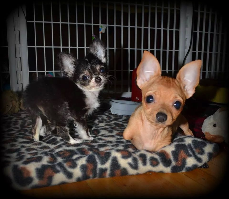 Mckenzie Cleft Palate And Miguel No Front Legs Chihuahua Love Animals Pets