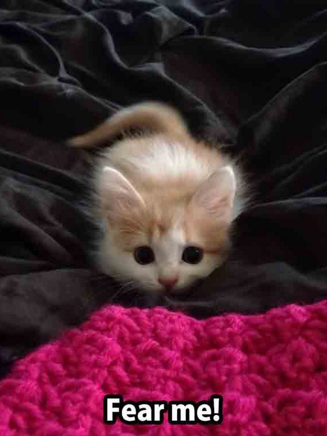 Fear Me Cute Animals Cute Little Kittens Funny Animal Pictures