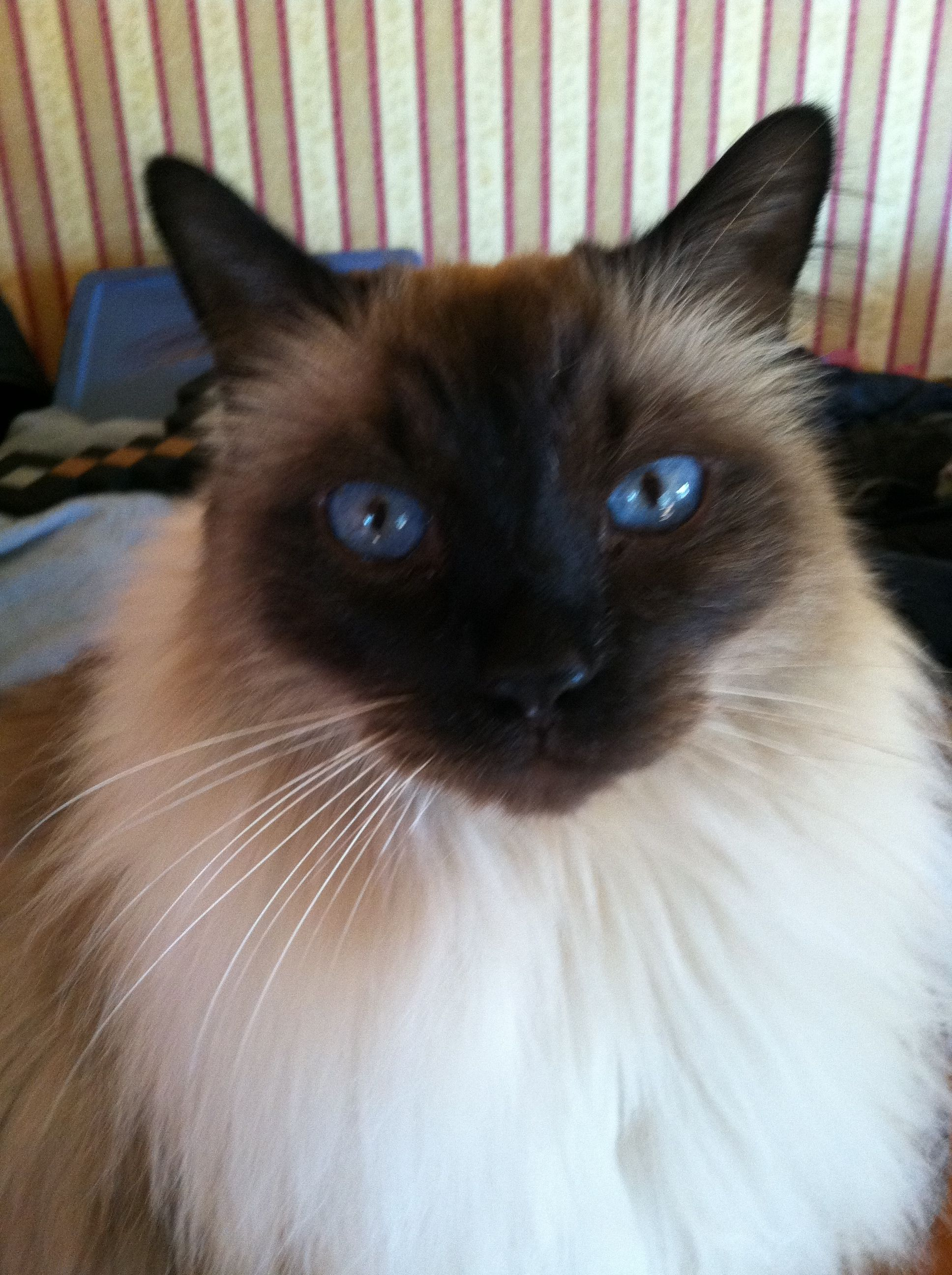 Nathan The Balinese Cat Pretty Cats Balinese Cat Siamese Cats