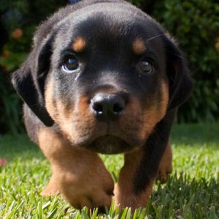 Pin By Dette Griffin On Animals I Love Rottweiler Puppies