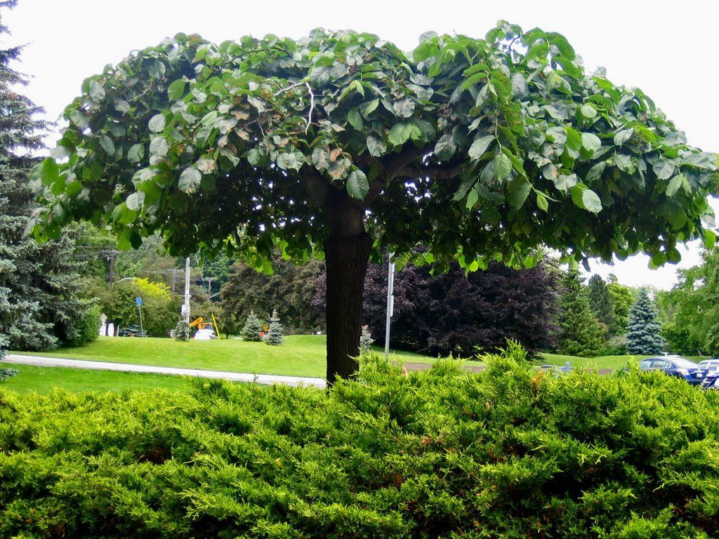 Parasolboom In Tuin : Nederlandse parasolboom tuin umbrella tree garden