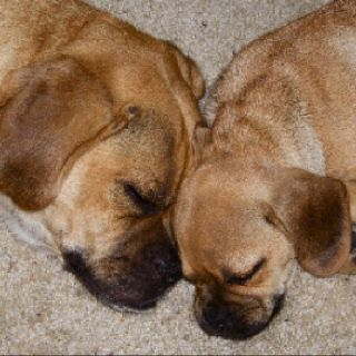 Cute Puggles Puggle Puggle Puppies For Sale Puggle Puppies