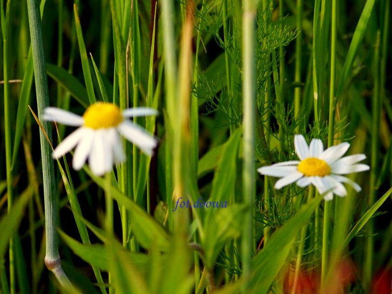 Suszymy Ziola Kwiaty Liscie Cz 2 Moje Male Czarowanie Dorota Owczarek Plants Flowers Dandelion