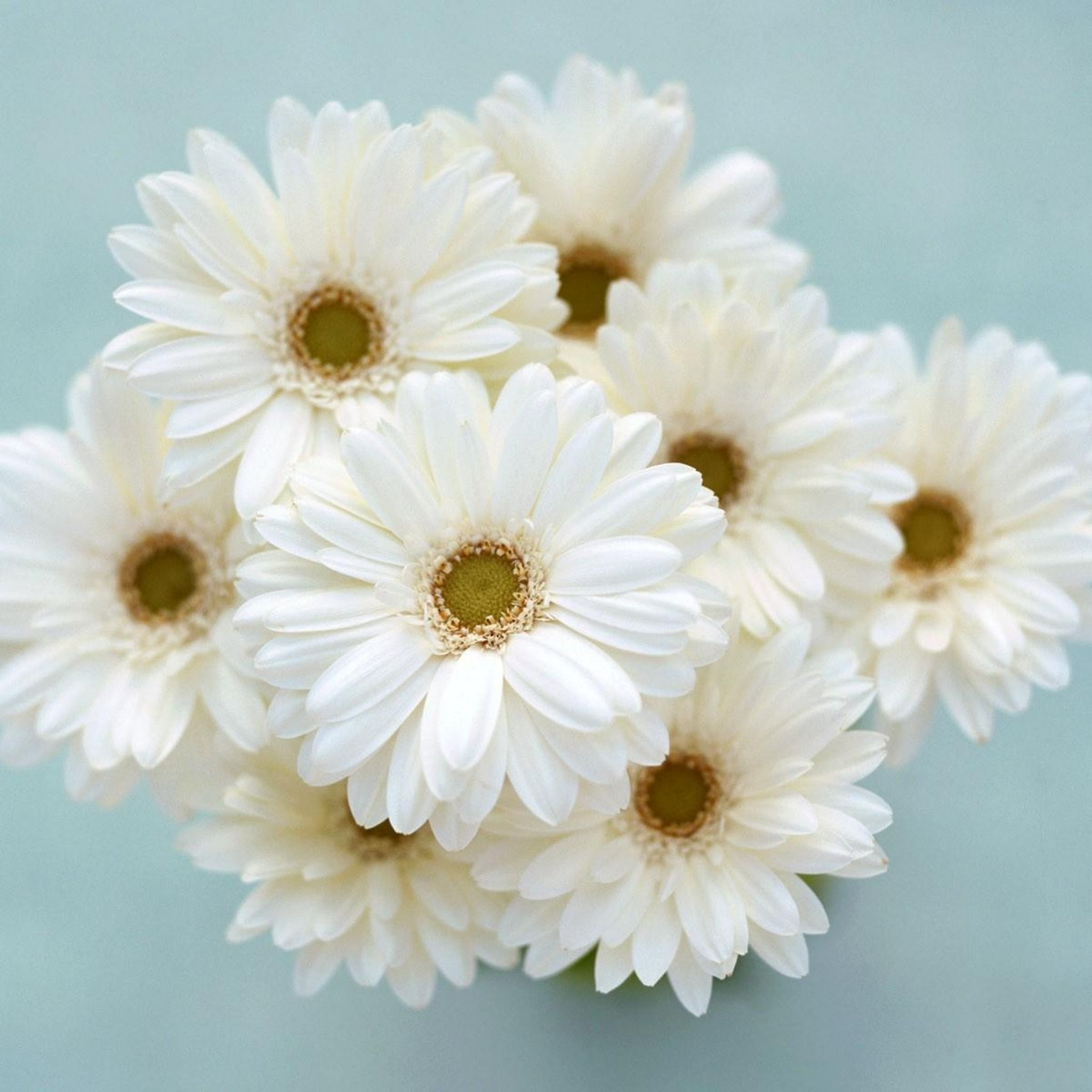 White Gerbera Flower Bouquet Tap To See More Clean White Simplistic Wallpapers Mobile9 White Flower Bouquet White Flowers Flowers