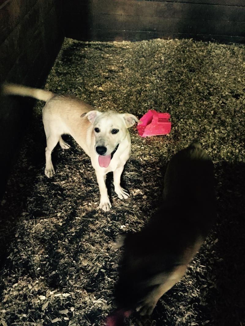 Dixie is an adoptable Yellow Labrador Retriever searching for a forever family near Franklin, TN. Use Petfinder to find adoptable pets in your area.