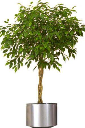 Decorative Indoor House Plants Home Interior Designmedyalink Large Indoor Plants Air Cleaning Plants Ficus Tree Indoor