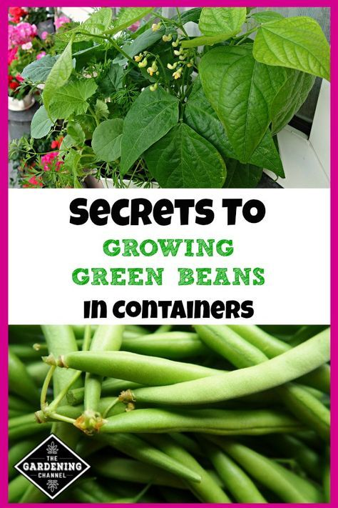How To Grow Great Green Beans In Containers Green Beans Garden Bean Garden Growing Green Beans