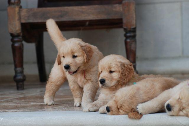 Puppies Golden Retriever Puppies Prism Golden Retrievers In