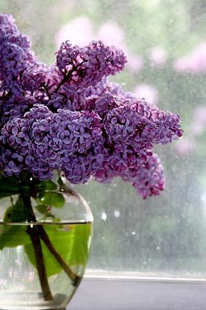 Lovely Lilac Edible Flower Recipes Spring Wedding Flowers Beautiful Flowers Lilac Bushes