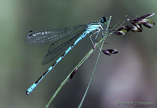 Zygoptera - Damselflies | british-dragonflies.org.uk