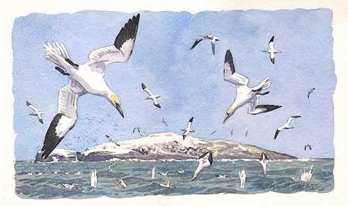Gannets bird art by Artist Richard Allen
