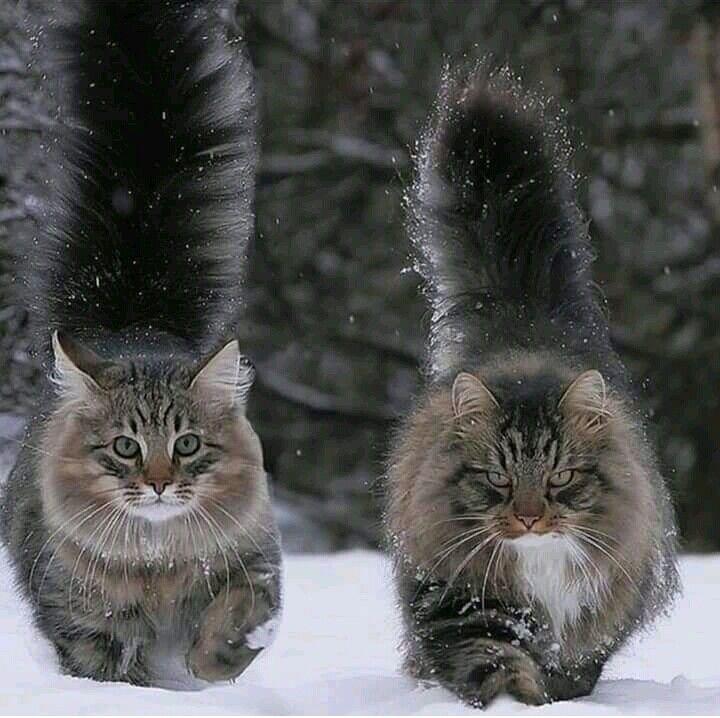 сибирские котики