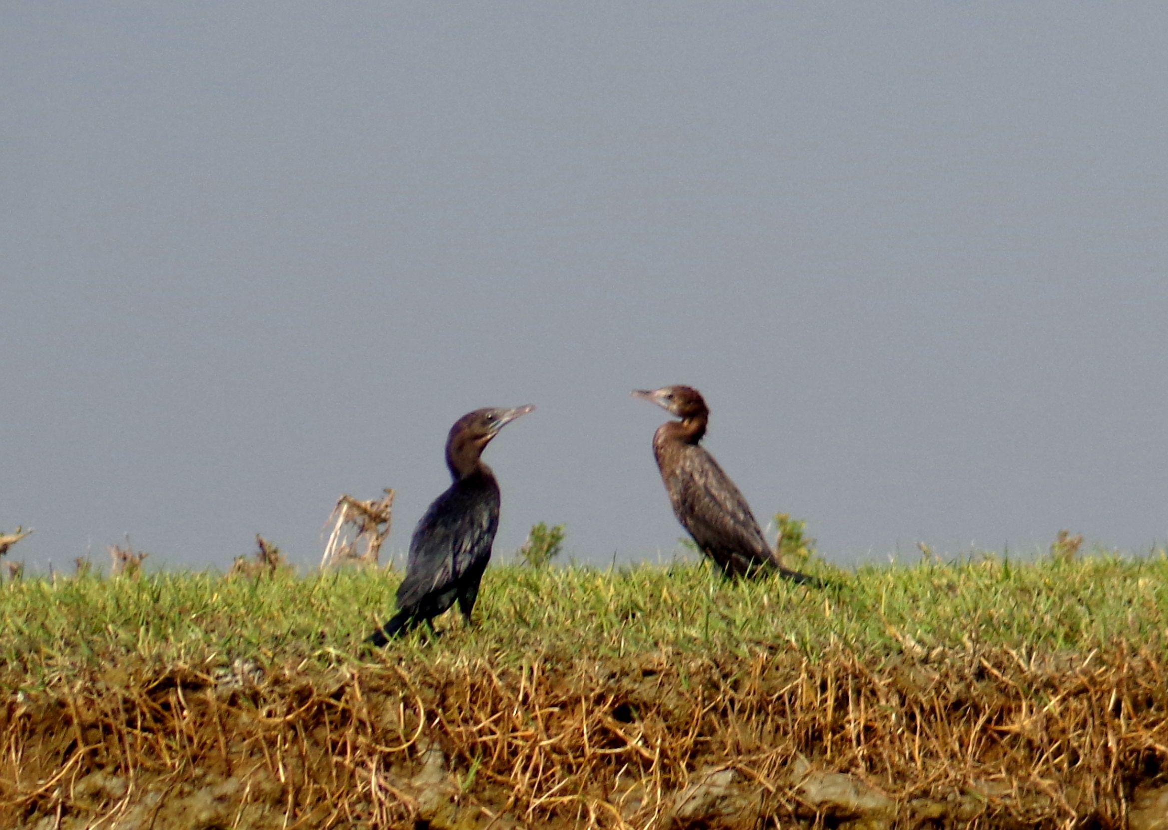Bengali Name পানকৌড়ি English name Indian Cormorant