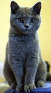 Die Rasse Britisch Kurzhaar Kurzhaar Katzen Baby Katzen Katzen