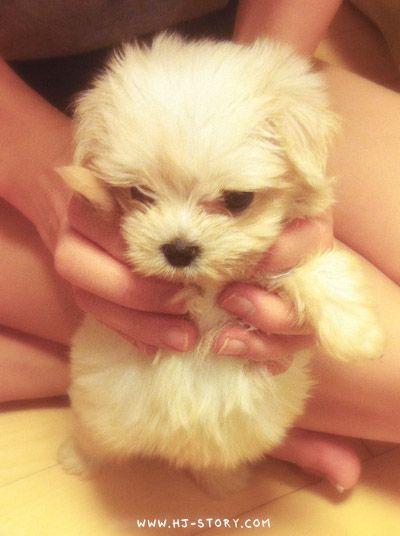 Cute Puppy Maltese Dog Collar Tags Cute Animals Dog