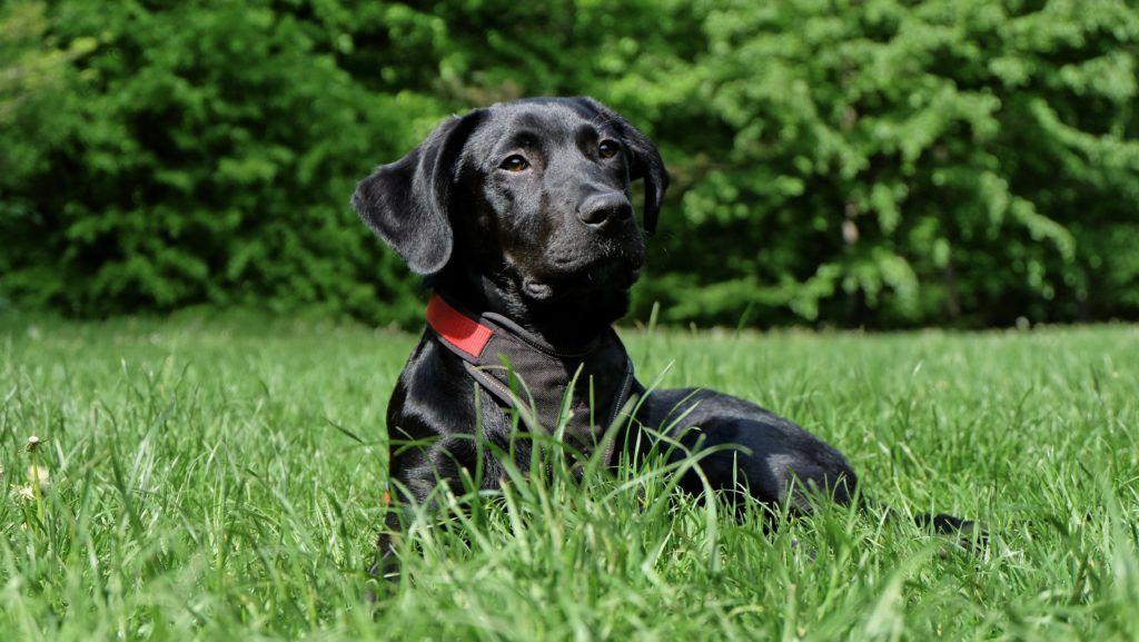 Photo of Los perros y la enfermedad de Lyme-síntomas de la enfermedad de Lyme perro »Wiki Ùtil Solo para tu perro