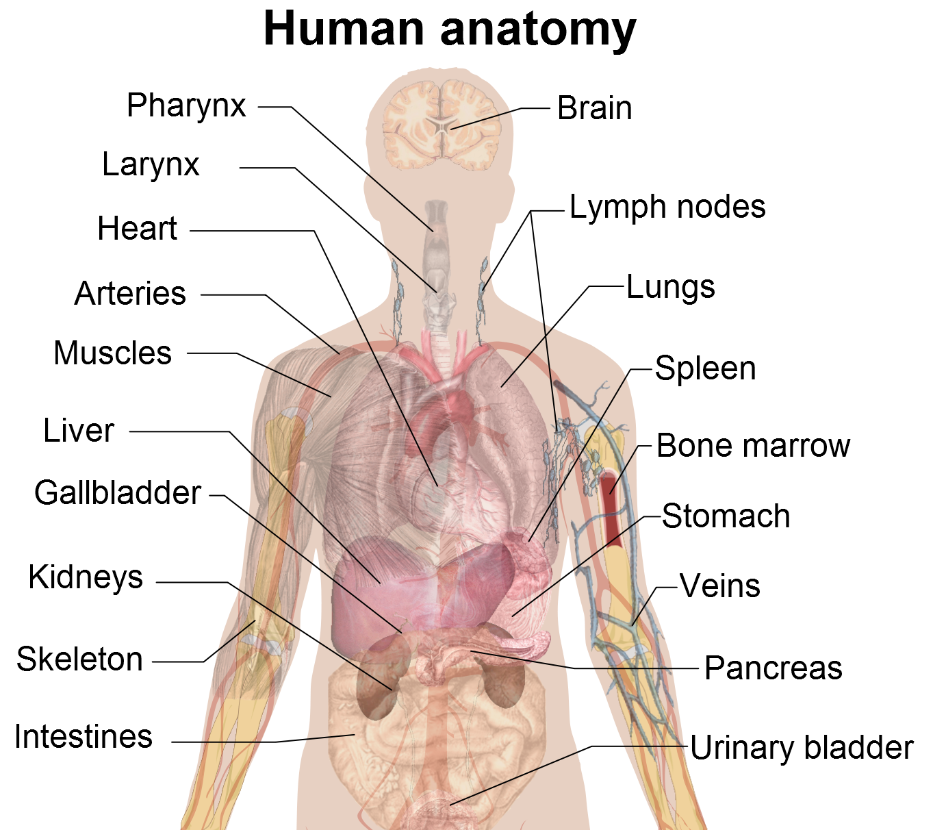 define the seven organizational approaches to studying the human body Levels of structural organization in the human body planes of the human body: definition  what are the organ systems of the human body related study.
