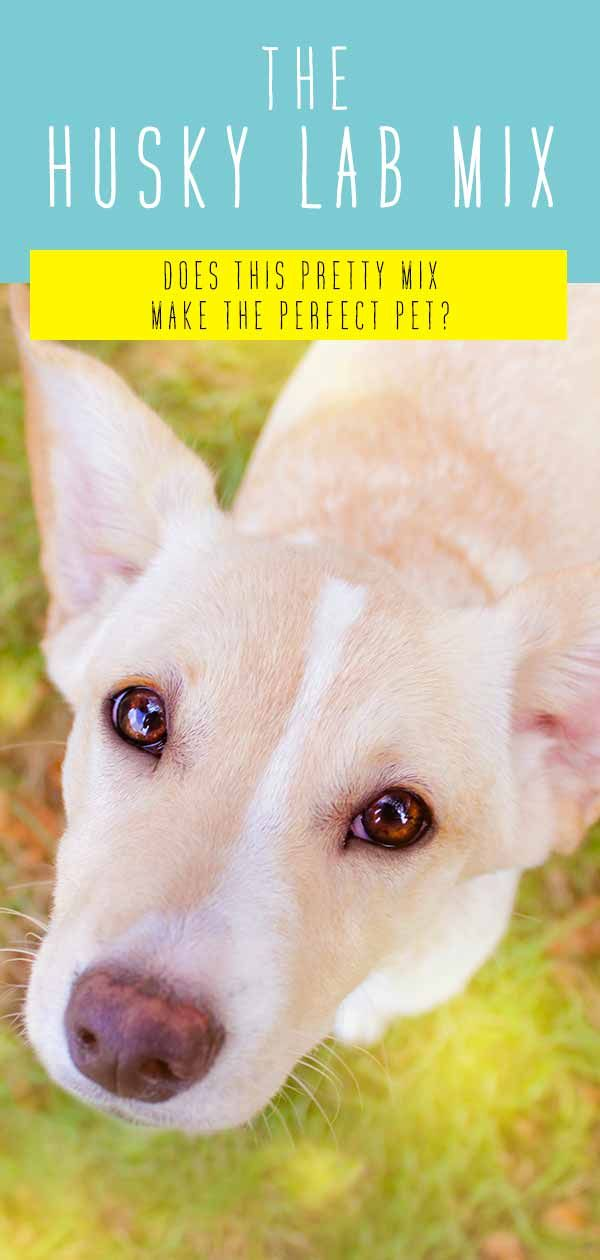 Husky Lab Mix Breed Information Center A Guide To The