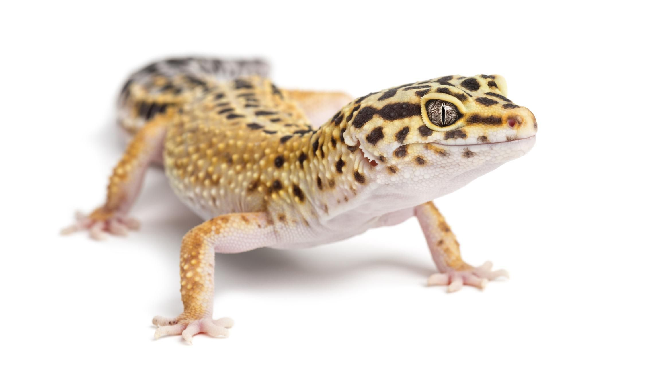 Leopard Geckos Make Great Pet Lizards For Both The Beginner And Seasoned Reptile Caretaker Learn How To Properly Leopard Gecko Pet Lizards