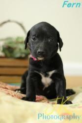 Adopt Fern On Petfinder Lab Mix Puppies Black Labrador Retriever Labrador Retriever