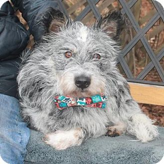 Garfield Heights Oh Cairn Terrier Australian Cattle Dog Mix