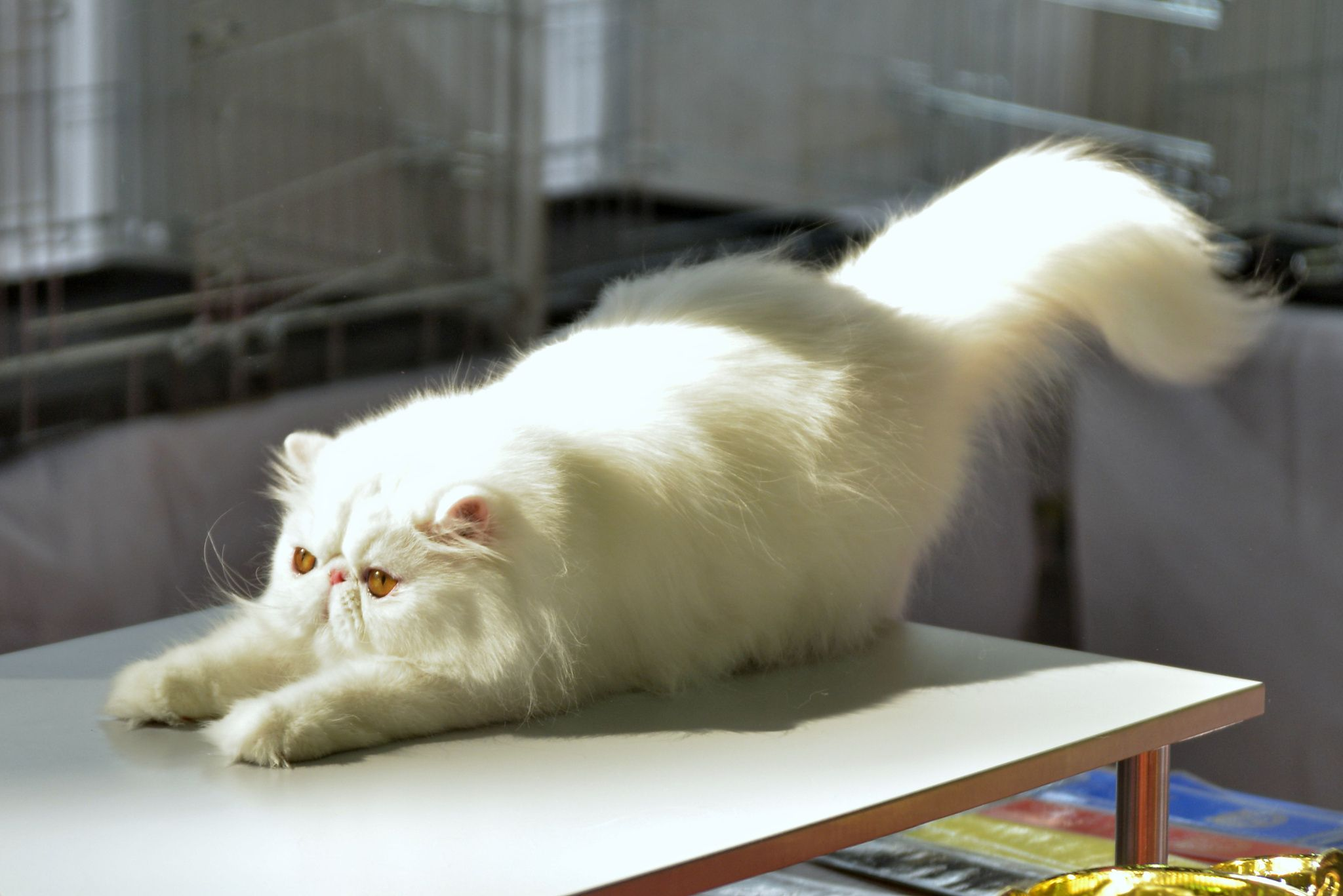 Persian - White fluffy Persian cat